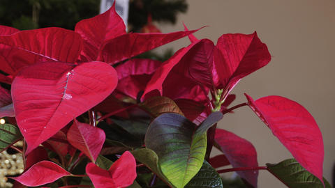 Poinsettia Christmas blossomed plant with top bright red petals before lit GIF