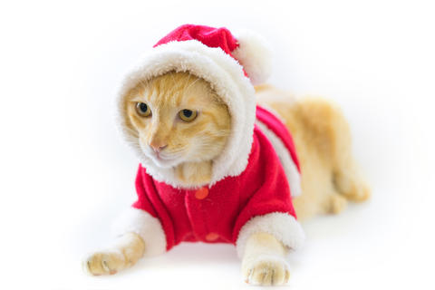 Christmas cat in santa suite on white background Photo