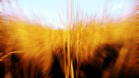 4K Fast Movement Simulation in Wheat Field Cinematic 3D Animation Animation