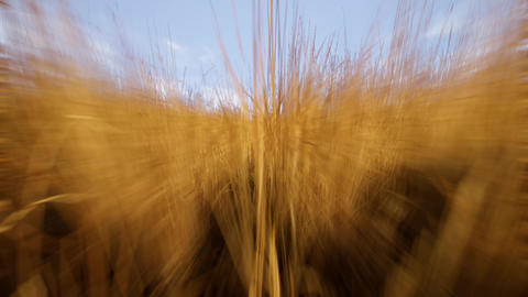 4K Simulating Fast Movement in Wheat Field Cinematic 3D Animation Animation