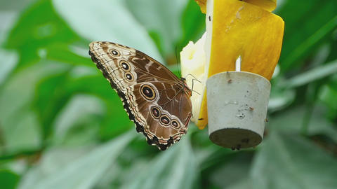 Tropical butterfly feeding Footage
