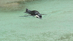 Penguin swimming under rain Footage
