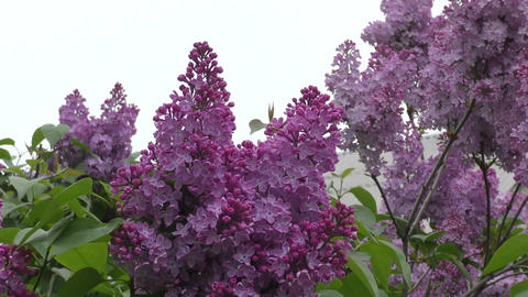 Blooming lilac morning Footage