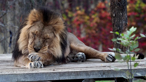 Asiatic lion (Panthera leo persica). A critically endangered species Live Action