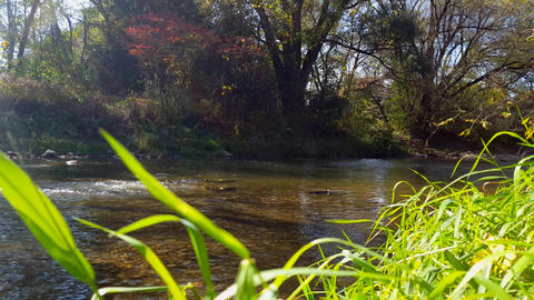 Salmon Fish Swimming in River Background. Salmon Run Upstream Playing and Live Action