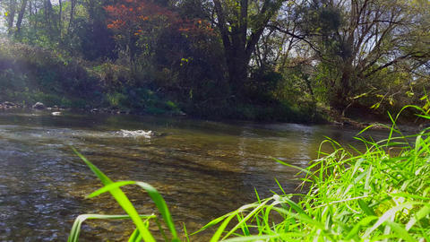 Fish Swimming in River Background in North America. Run Upstream Playing and Live Action