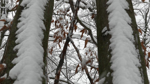 4K Perspective View of Winter Snowfall through Trees Tilt Down Live Action