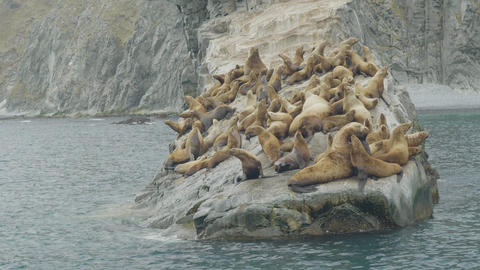 Flock of sea lions on rocky cliff in sea. Wildlife and animal of northern seas Live Action