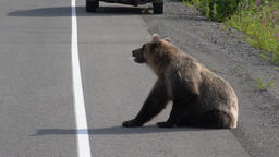Russian wild hungry brown bear walking on road Footage