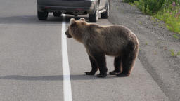 Hungry wild Kamchatka brown bear walking on road Stock Video Footage