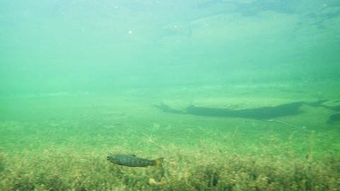 Trout swimming in clear-watered lake Hornindalsvatnet in Norway Footage