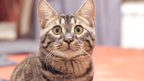 Tabby cat looks into the camera and moves his ears GIF