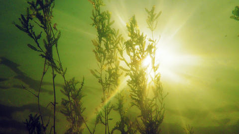 Curled pondweed (Potamogeton crispus) with backlight sun Footage