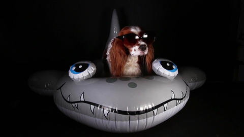 Summer dog wearing sunglasses in floating water toy king charles spaniel Live Action