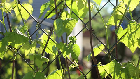 The Grape Leaves On A Fence Netting stock footage