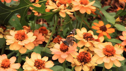 butterfly on flower Footage