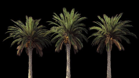 Palm trees in the wind.With alpha channel. Codec-PNG Alpha. Beautiful summer Animation
