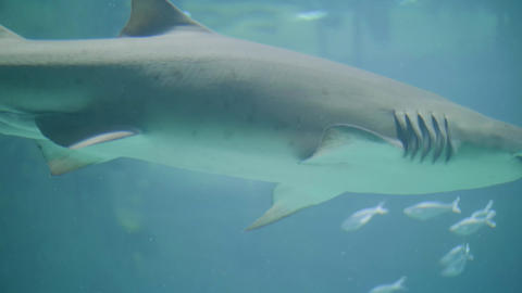 Shark and fish swimming in water in oceanarium. Wild sea animal and predator Live Action