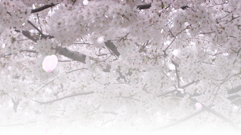 Cherry Blossom petals Background photo Animation