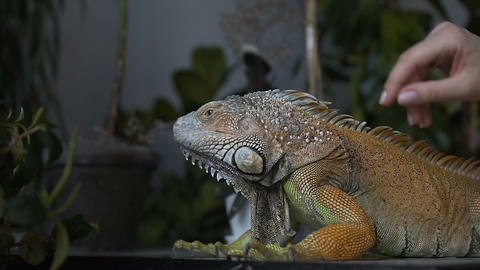 Close-up. The lizard of iguana with large claws sits in the room. The girl Footage