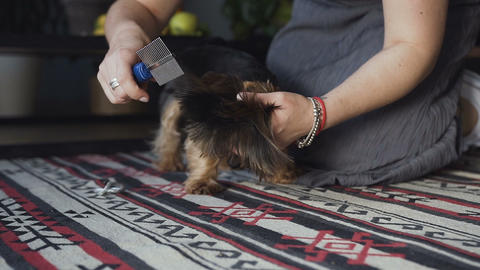 close-up Woman comb out brushed dog breeds yorkshire terrier and plaire hair Footage