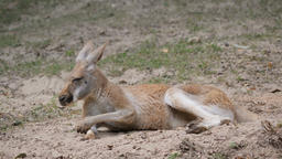 The red kangaroo is rubbing nose. Macropus rufus Live Action
