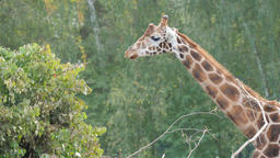 Rothschild's giraffe is eating. Giraffa camelopardalis rothschildi Live Action
