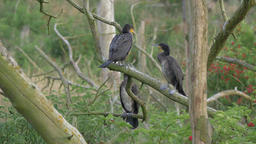Adolescent cormorants are fighting on a branch Live Action