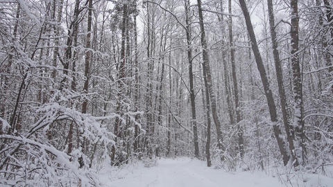 Beautiful winter forest, falling snow in wild winter forest Live Action