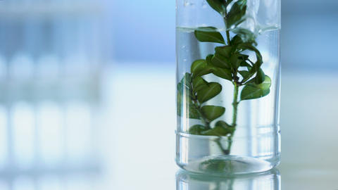 Biology scientist pouring water on green herb in laboratory tube, cosmetology Live Action