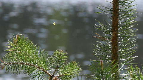 Branches of Pine Trees on a Background of Lake Footage