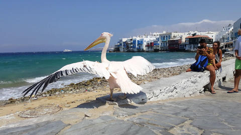 Mykonos Town, Greece - summer. Pelican mascot at Little Venice (Aleykantra) Footage