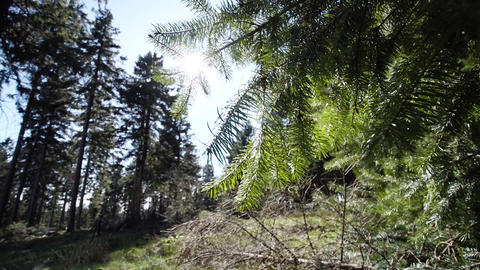 Beautiful forest fir in the wind against the sun with sun flares Footage