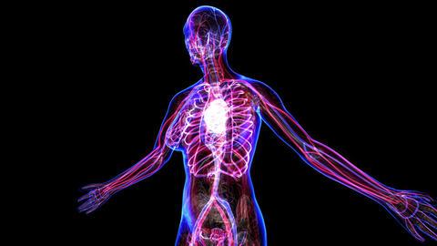 Female Circulatory System Animation
