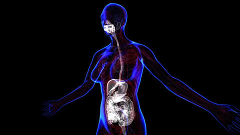 Female Digestive System stock footage