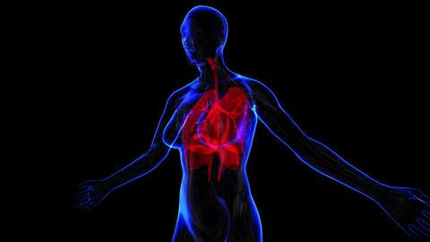 Female Respiratory system Animation