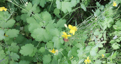 Bushes and flowers celandine Live Action
