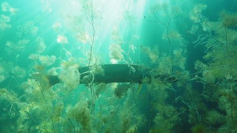 Big pike hiding between water-crowfoot aquatic plants Live Action