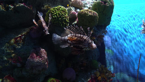 Pterois volitans, lionfish hiding in multicolor corals and floating near Footage
