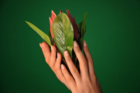 Two Female Hands Holding Pink Protea Flower On chroma key Background Photo