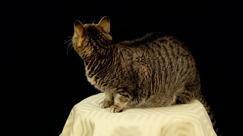 Curious Cat Nervous In Front of Black Background Footage