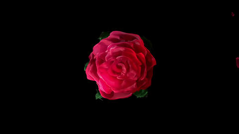 Valentine Rose Blooming Alpha Matte Black Background... Stock Video Footage