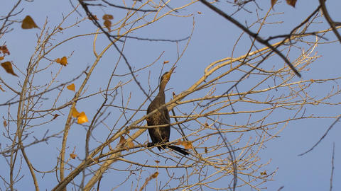 Black bird sitting on a tree without leaves Live Action