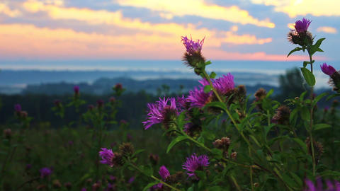 Morning breeze swaying blooming thistle early in the morning Stock Video Footage