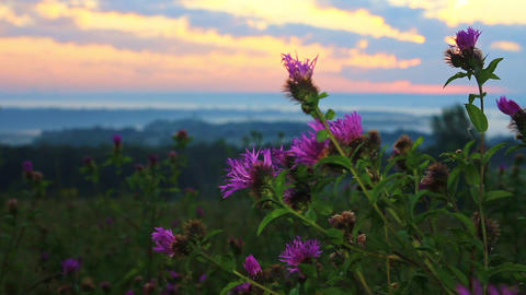 Morning breeze swaying blooming thistle early in the morning Live Action