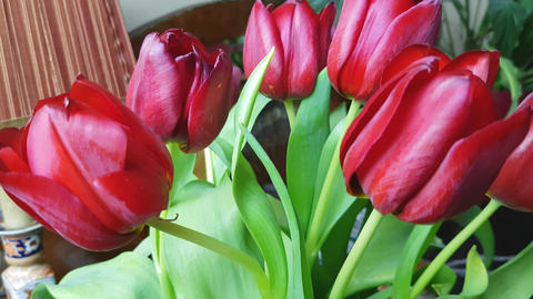 Red tulips 1 Footage
