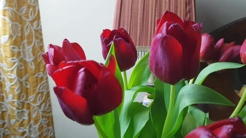 Red tulips 3 Live Action