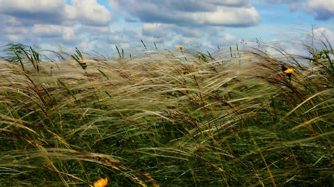 feather grass with yellow meadow flowers and blue sky with cumulus clouds ビデオ