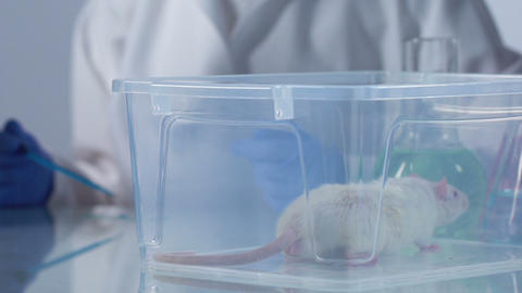 Scientist observing behavior of laboratory rat examining injection sample Footage