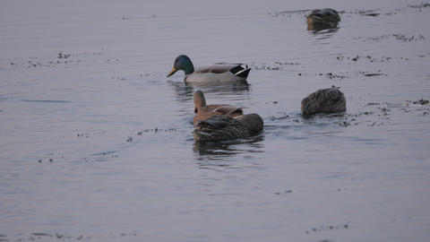 Birds and animals in wildlife. Amazing mallard duck swims in lake or river with Live Action